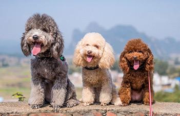 سگ-های آپارتمانی