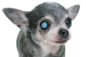 Sudden acquired retinal degeneration