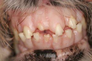 سگ مبتلا به بیماری آکرومگالی