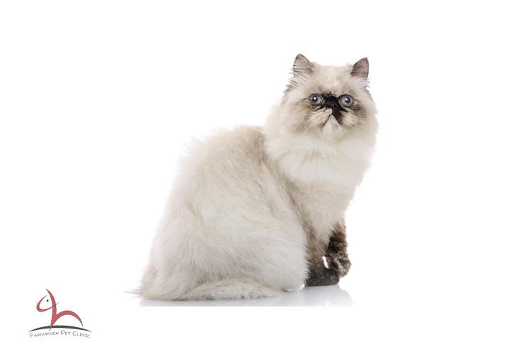 Himalian Cat