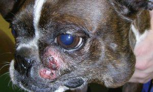 سرطان ها - mast cell tumor